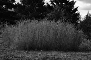 Nathalie Lavoie   Semer en juin un carré de lin dans le potager.